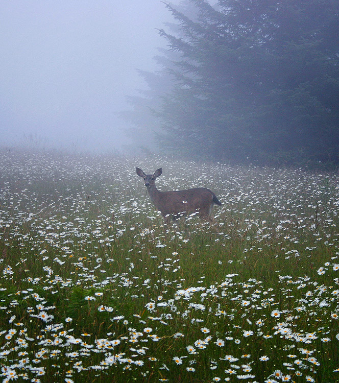 Arcata,deer, photo