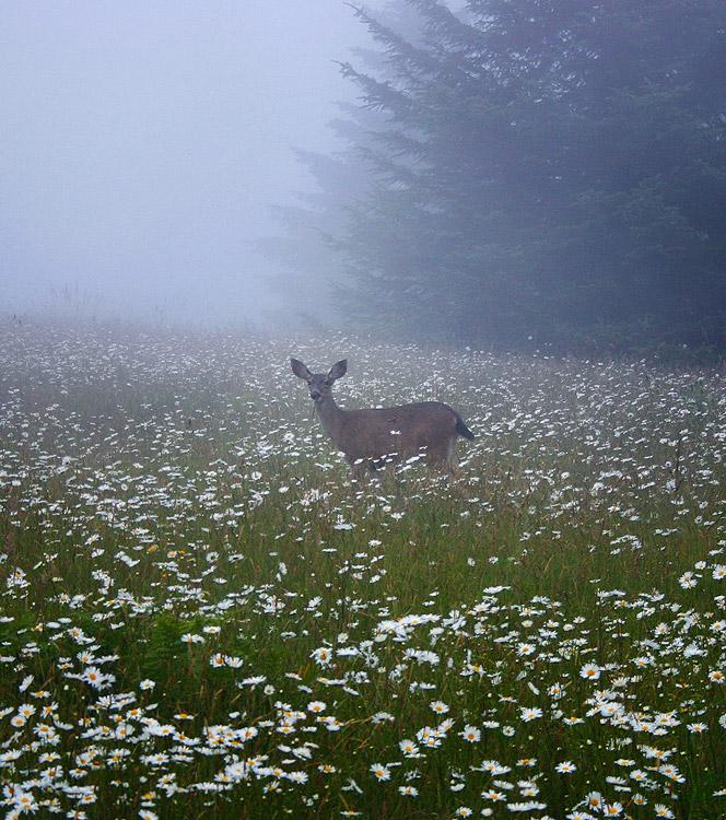 Arcata,deer, photo