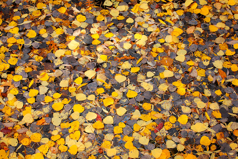 aspen,leaves,creek,Colorado, photo