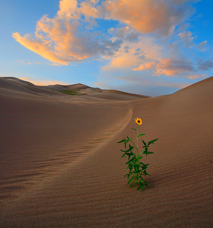 Great Sand Dune,Colorado,sunflower, photo