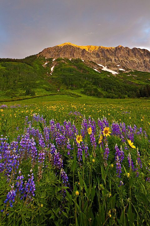Crested Butte,Gothic,lupine,sunflower, photo