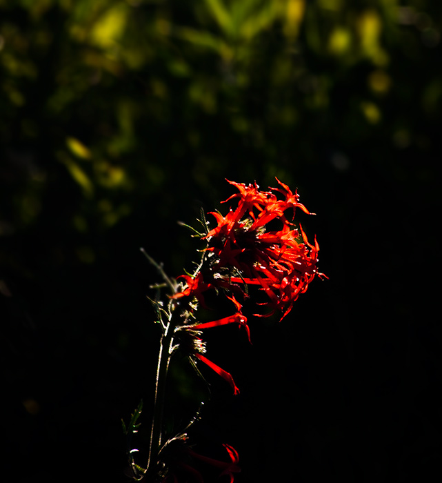Scarlet gilia,judd falls,Gothic,Colorado, photo