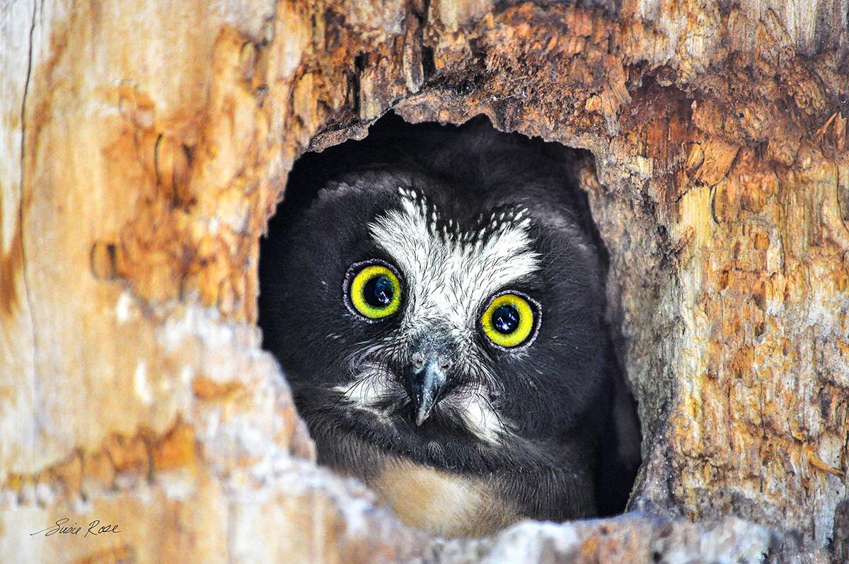 owl, saw whet, tree,colorado springs, photo