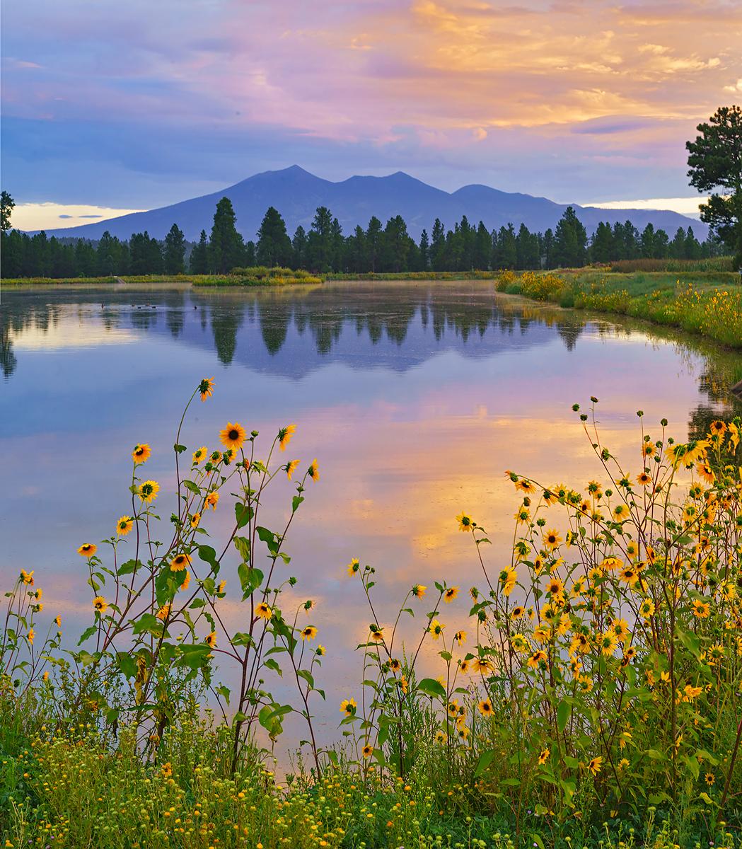 Kachina wetlands, sunrise, sunflower, San Francisco Peaks, Arizona, Flagstaff, photo