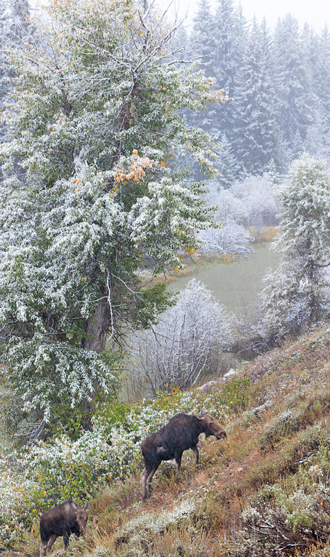 A couple moose during an early snowfall in the Tetons.