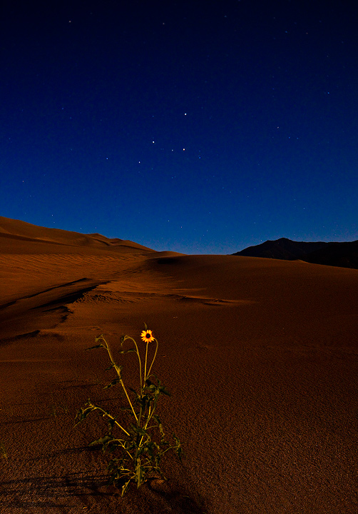 sunflower,star,great sand dunes,Colorado, photo