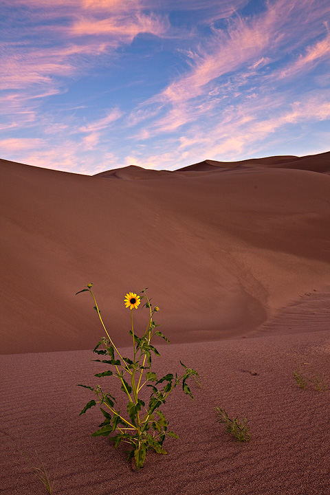 Great sand dunes,Colorado,sunflower, photo