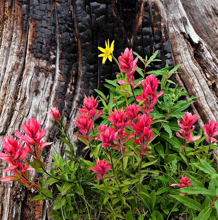 shrine pass,colorado,burnt,flowers, photo