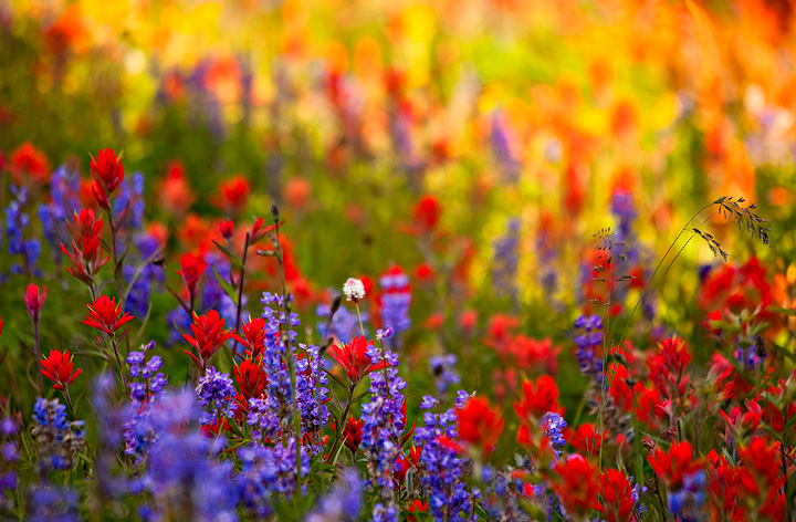 Shrine Ridge,Colorado,wildflower, photo