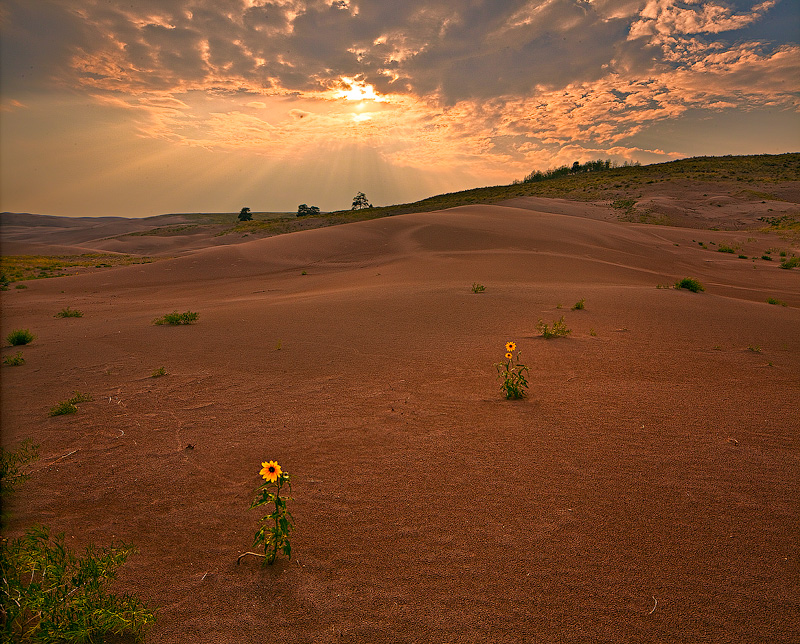 Sunflowers in the northern dune mass, as the sun drops below a hazy monsoonal sky.