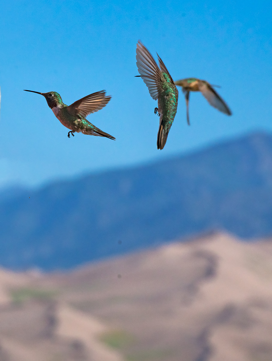 hummingbirds, Great Sand Dunes, Colorado, photo