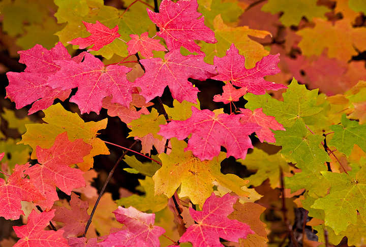 maple,leaves,Zion National Park,Utah, photo