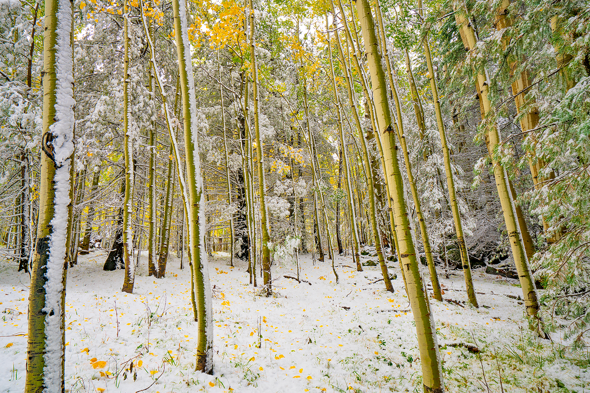 First snow of the season covers the aspen forest at Aspen Corner, at Arizona Snowbowl near Flagstaff.