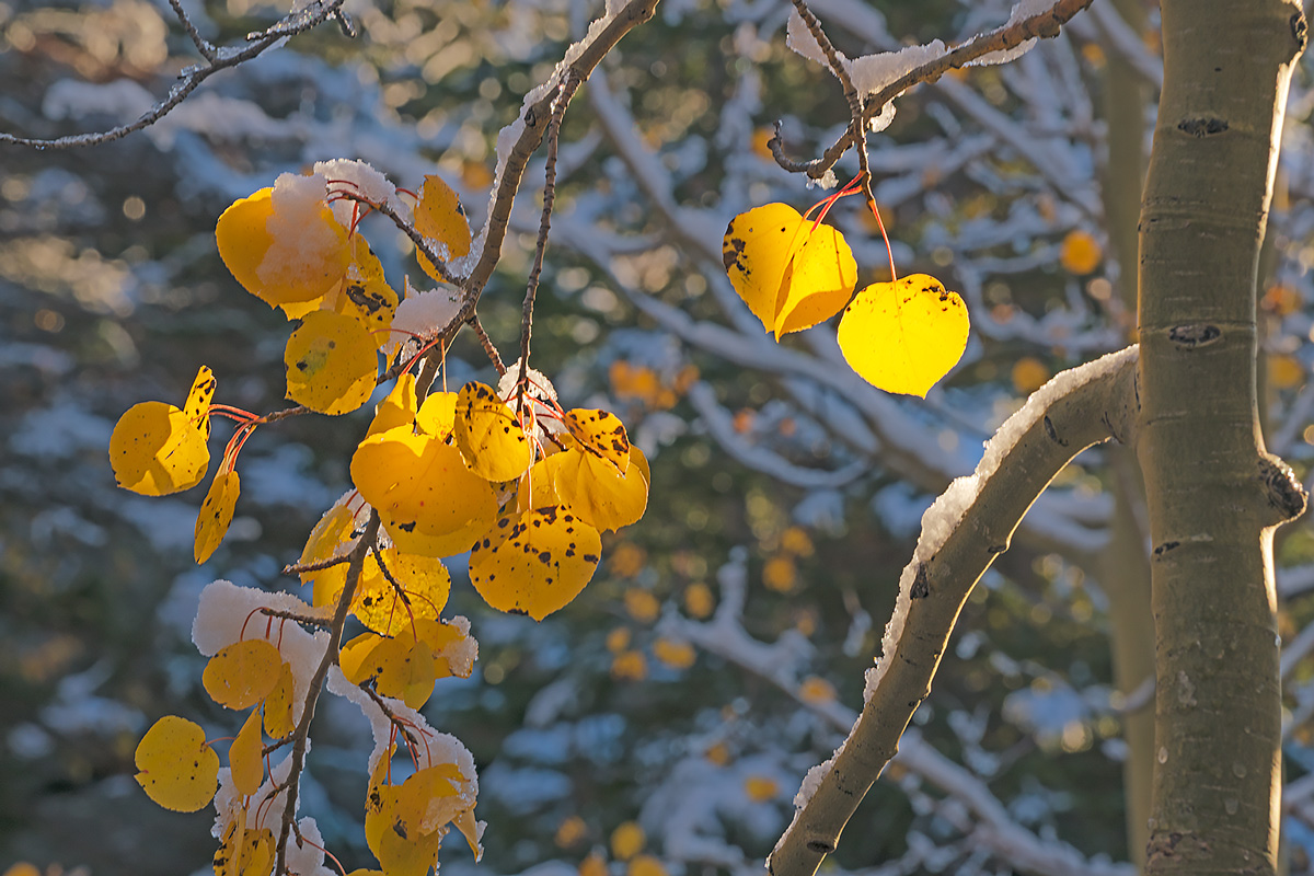 Aspen leaves glow in early light after an autumn snow.