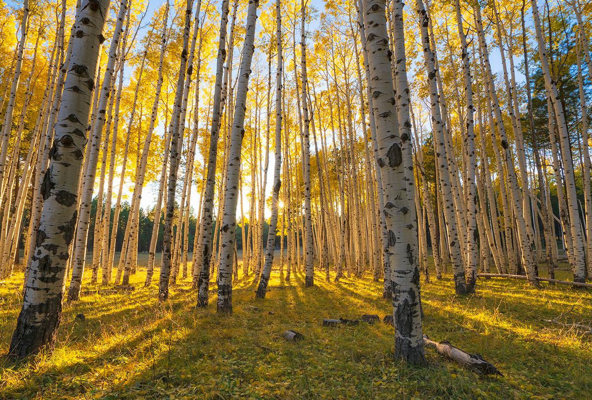 Flagstaff, Hart Prairie, aspen, forest, photo