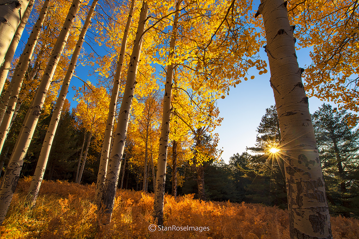 Ferns and aspen in October at Hart Prairie near Flagstaff.
