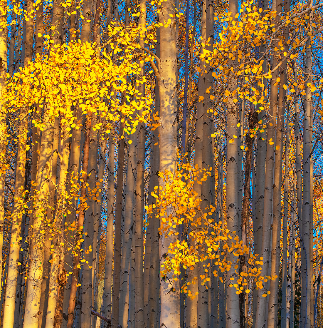 Aspen,Hart Prairie,Arizona, photo