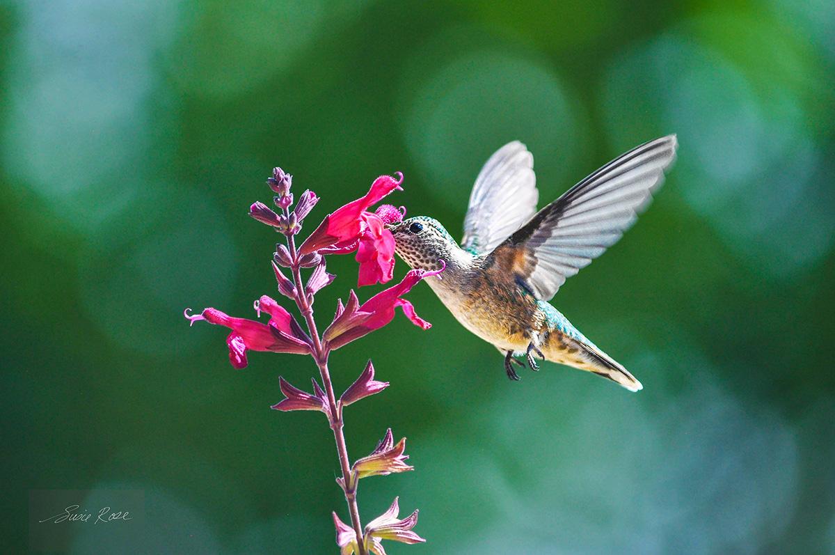 hummingbird, Colorado Springs, photo