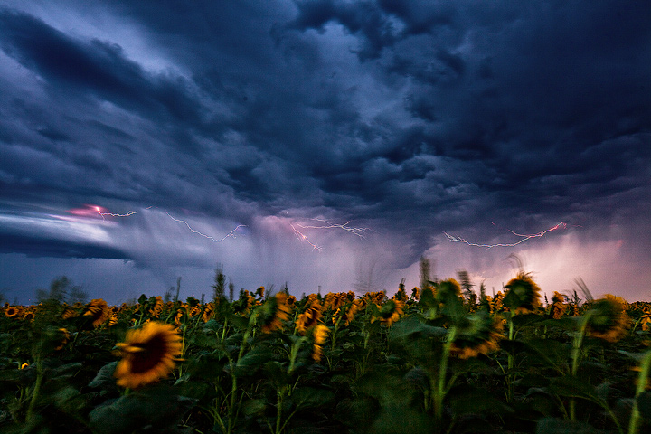 Goodland,Kansas,sunflowers, photo