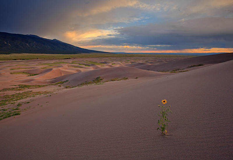 A lone sunflower in the dunes at sunset, looking out over the Sangre De Cristo Mountains.