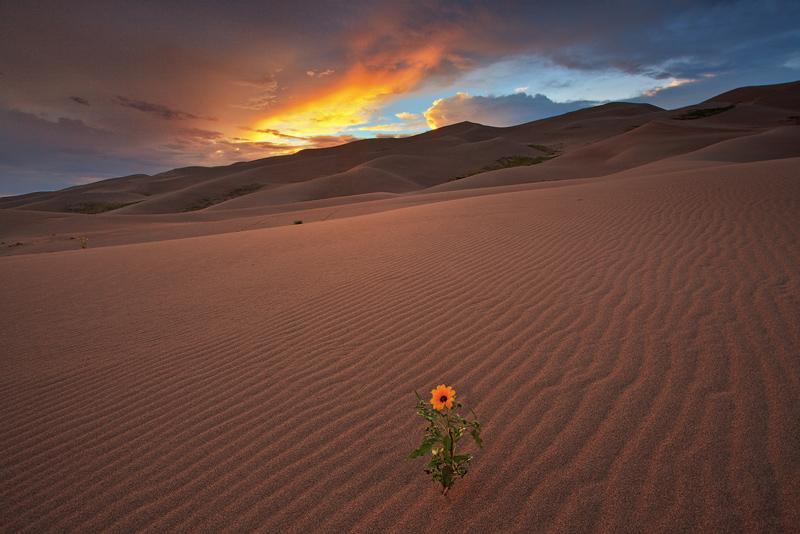 sunflower,great sand dunes,sunset, photo