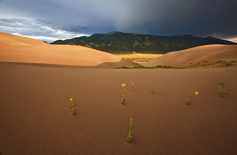 sunflowers,great sand dunes,colorado, photo