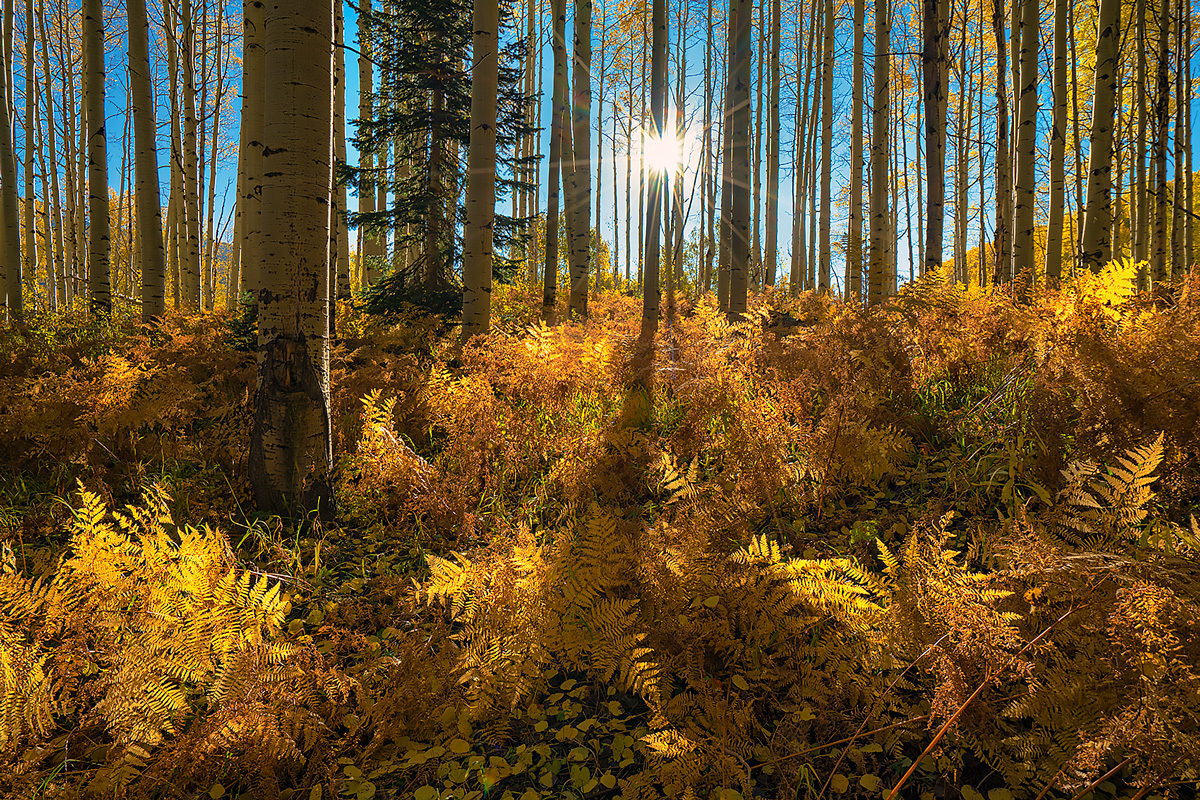 Ferns and aspen shine in morning light at Kebler Pass in October.
