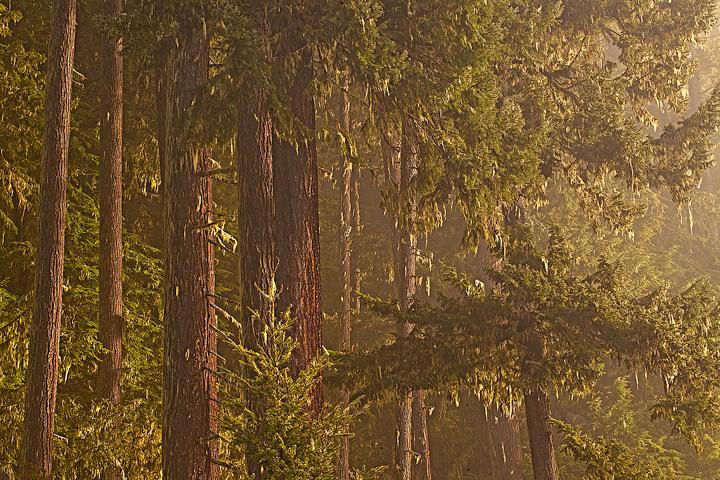 rain forest,fog,heart of the hills,olympic national park, photo