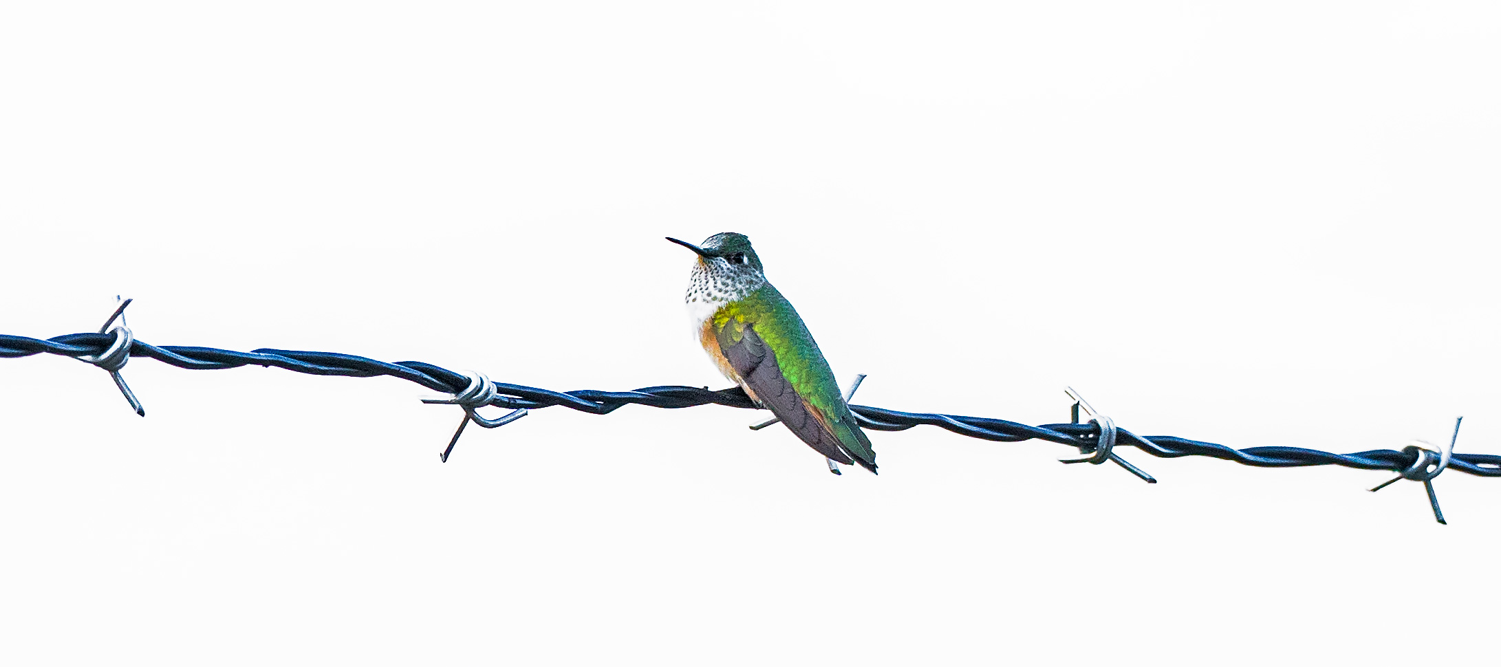 hummingbird, Xeriscape, fence, photo