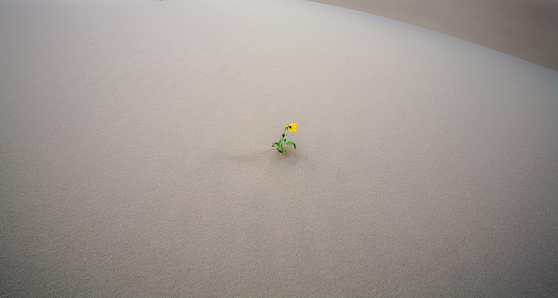 A lone sunflower grows in the sand.