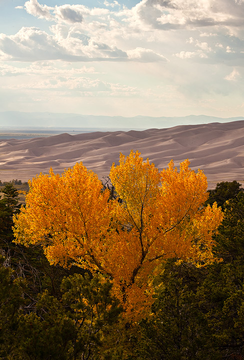 cottonwood,yellow,great sand dunes,colorado, photo