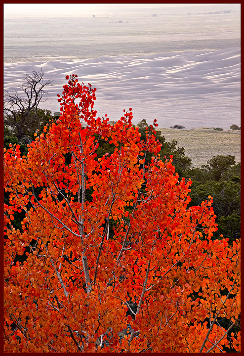 The rare red aspen stands in contrast to the dune field beyond.