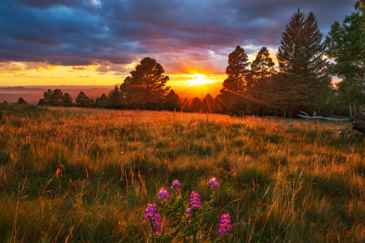 The last of the lupines as fall arrives at the Arizona Snowbowl at sunset.