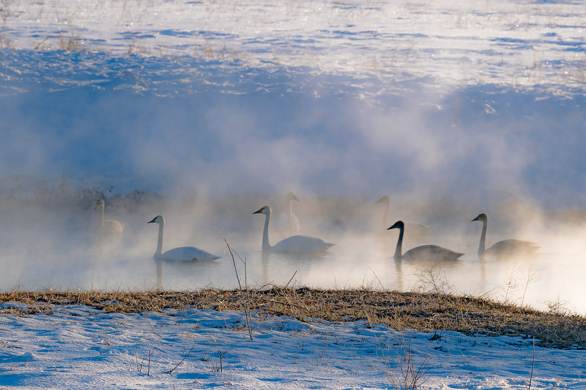 Wyoming,swans,Grand Teton National Park, photo