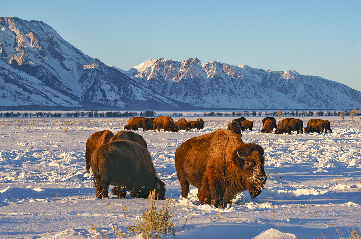 bison,Grand Teton,wyoming, photo