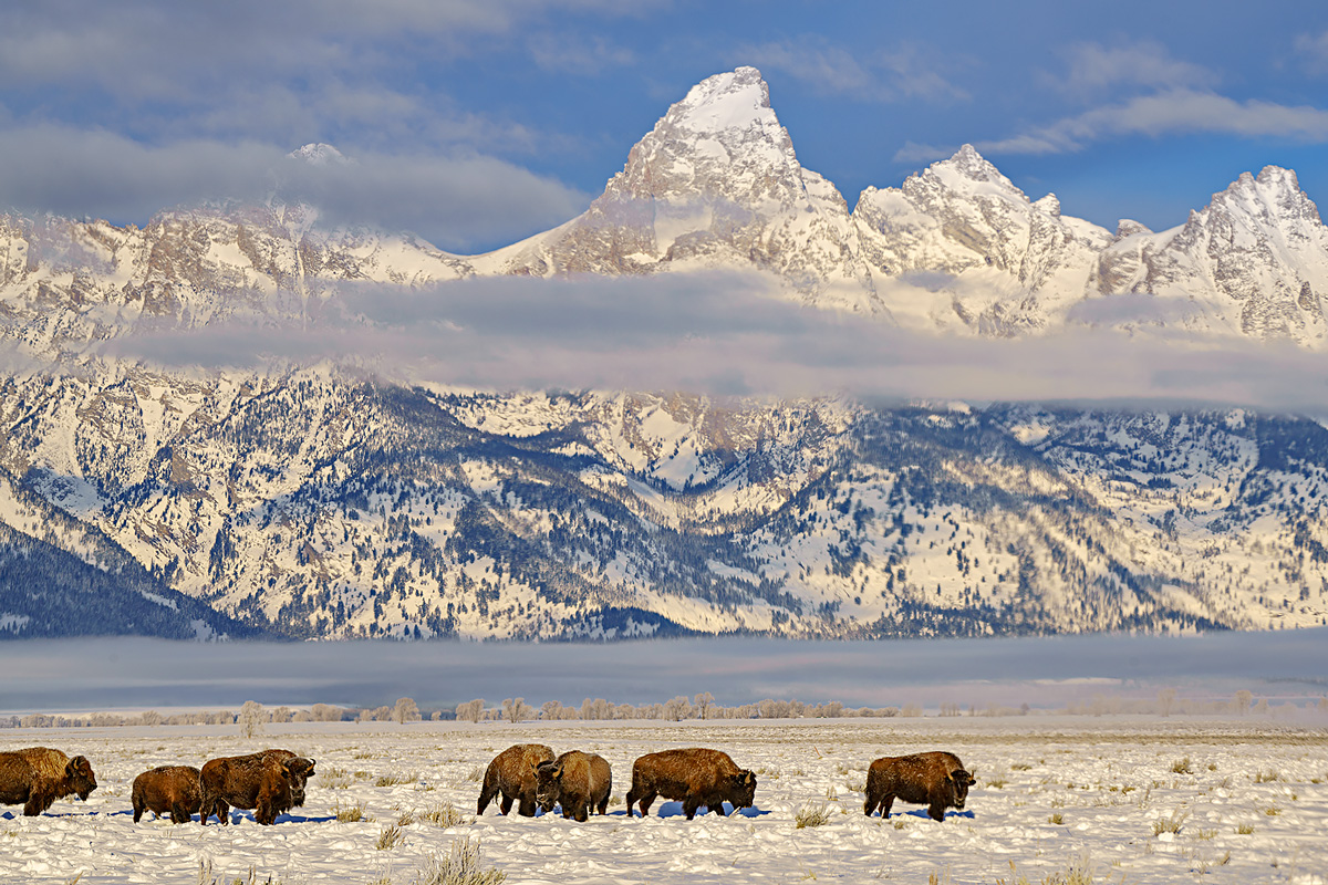 buffalo,Grand Teton,Wyoming, photo