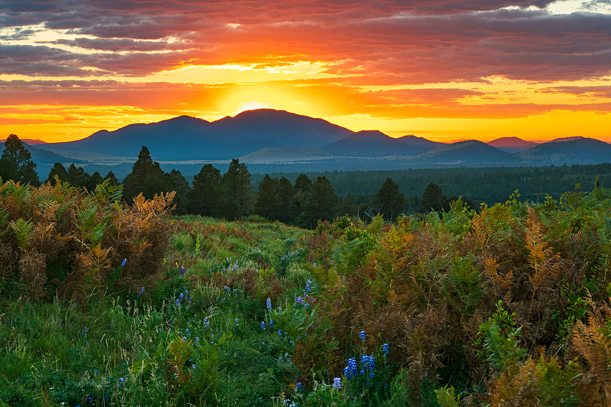 lupine, ferns, Wilson Meadow, Flagstaff, sunset, photo