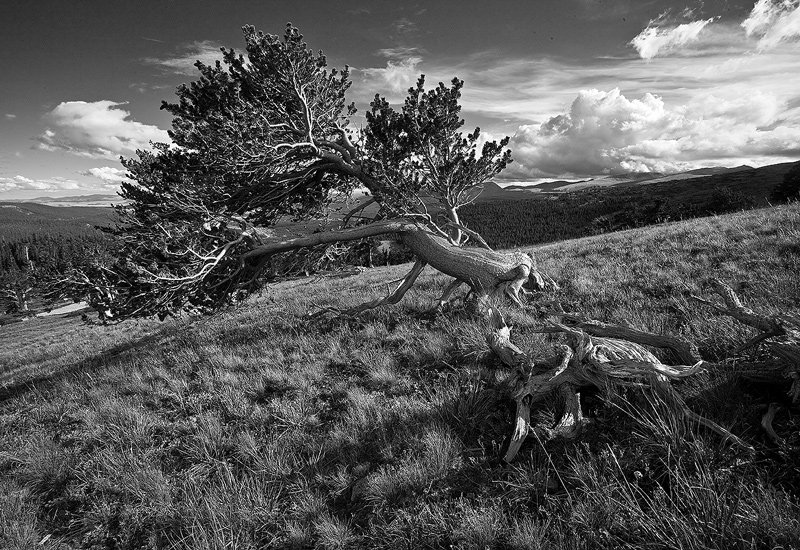 bristlecone,Windy Ridge,Colorado, photo