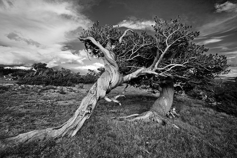 Bristlecone,Colorado,Windy Ridge, photo