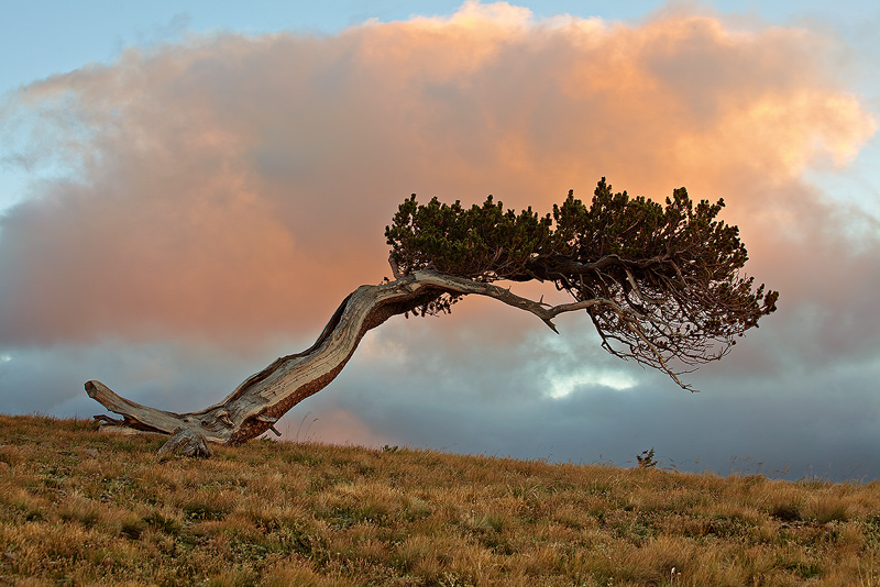Bristlecone,Windy Ridge,Alma,Colorado, photo