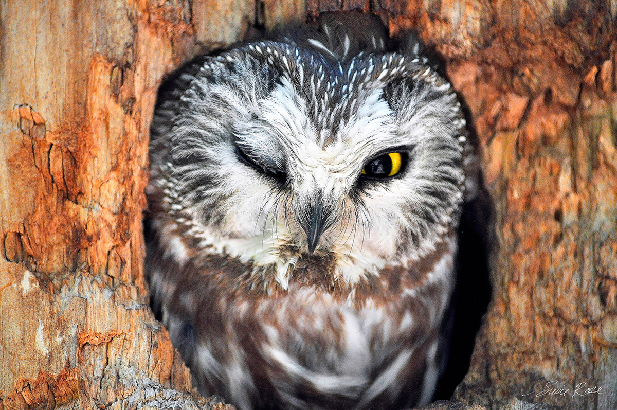 Colorado Springs,owl, photo